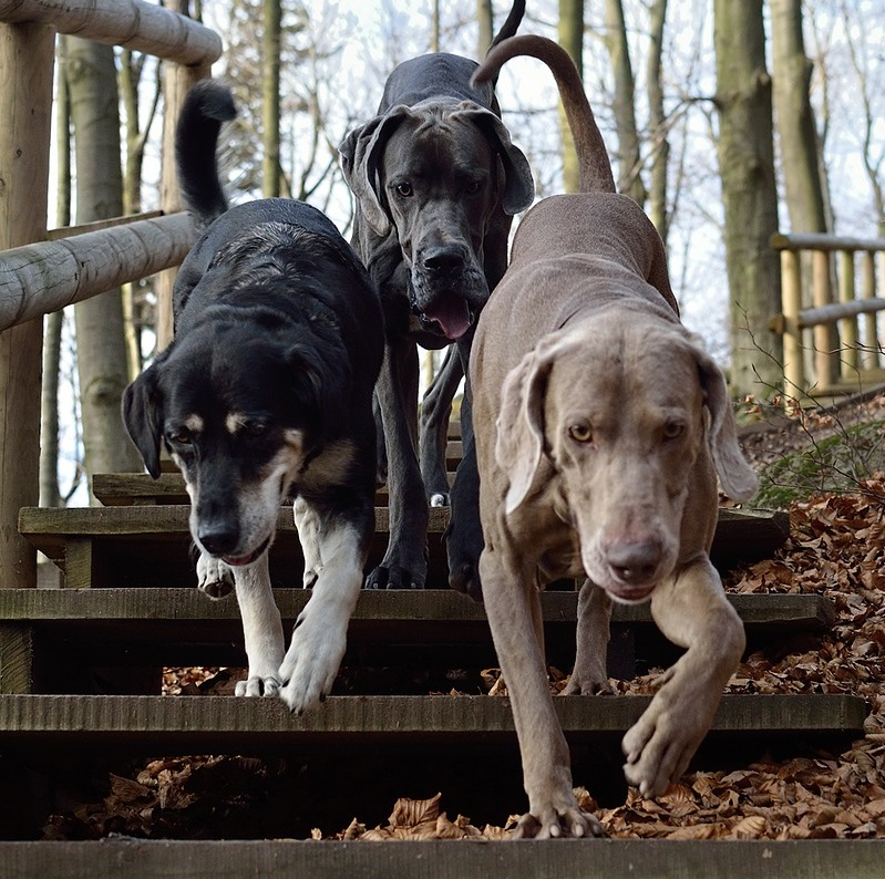 Year of the Dog pack