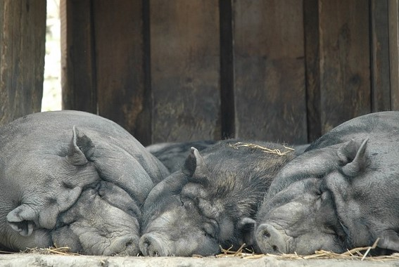 2019 relaxed calm pigs
