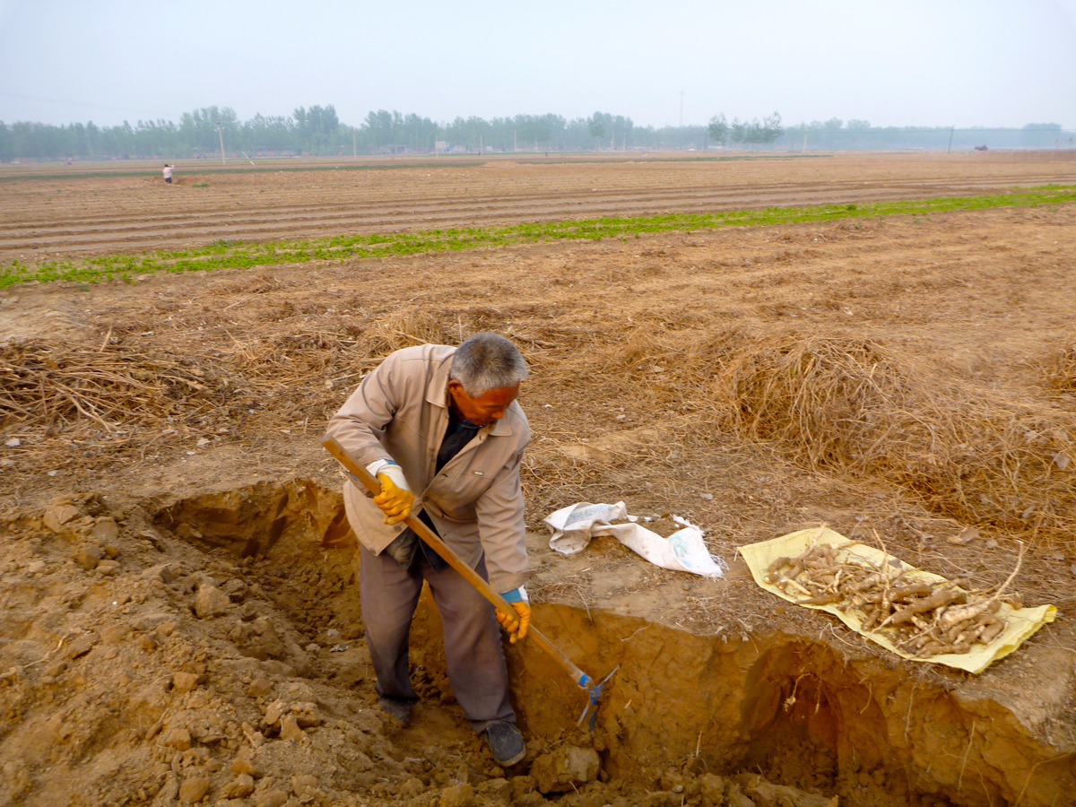 Digging Tian Hua Fen