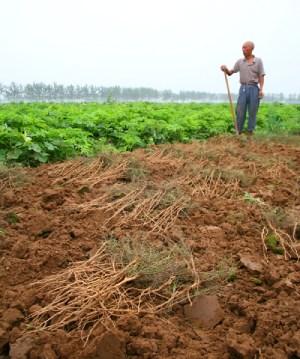 Farmer with Yuan Zhi crop