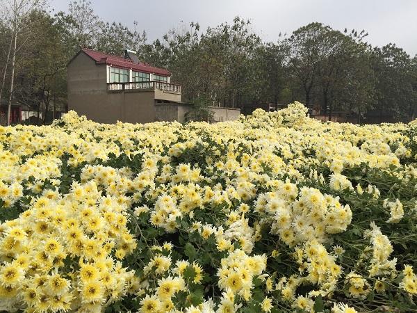 Ju Hua Field