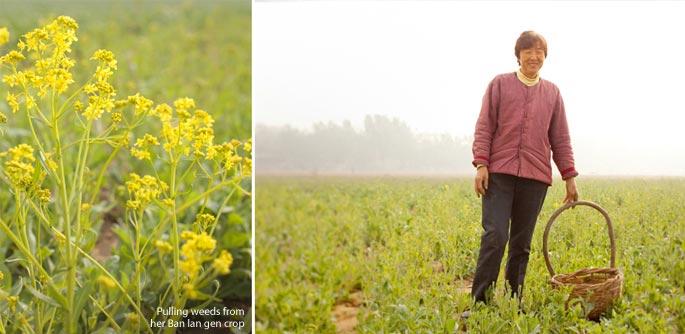 Mayway Hebei contracted grower weeds her Ban lan gen crop