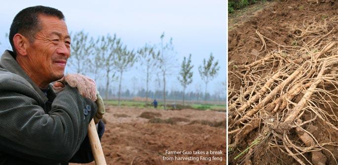 Farmer Guo takes a break from Fang Feng harvest for Mayway Hebei