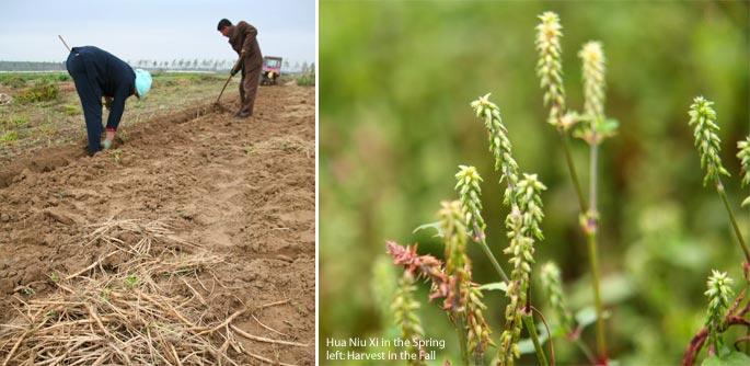Huai Niu Xi Farmers for Mayway in Hebei