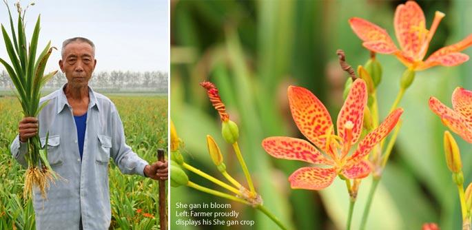 She Gan Farmer for Mayway Hebei