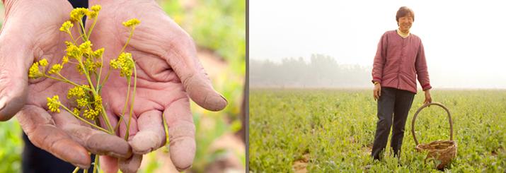 Farmer in yellow field